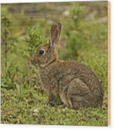 Brown Rabbit Wood Print
