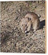 Brown Rat Wood Print