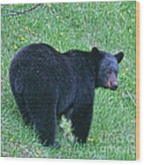 Browsing Black Bear Wood Print