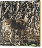 Buck In The Woods Wood Print