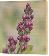Budding Lilac 4 Wood Print