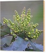 Budding Mahonia Wood Print