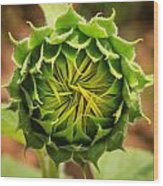 Budding Sunflower Wood Print