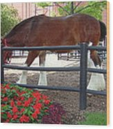 Budweiser Clydesdale Wood Print