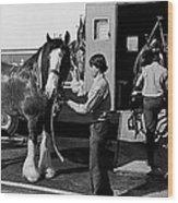 Budweiser Clydesdales Los Vaqueros Rodeo Parade Tucson Arizona 1984 Wood Print