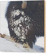 Buffalo Eating   #9634 Wood Print