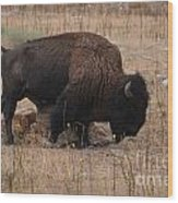 Buffalo Of Antelope Island Iv Wood Print