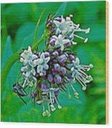 Bug On Wild Mint On Great Glacier Trail In Glacier National Park-british Columbia  Wood Print
