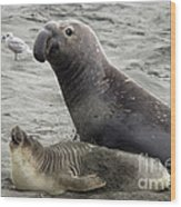 Bull Approaches Cow Seal Wood Print by Mark Newman