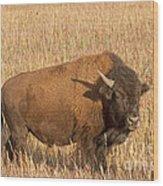 Bull Bison At The  Elk Ranch Grand Teton National Park Wood Print