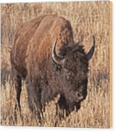 Bull Bison Running In Yellowstone National Park Wood Print