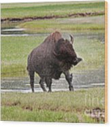 Bull Bison Shaking In Yellowstone National Park Wood Print
