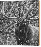 Bull Elk Bugling Black And White Wood Print