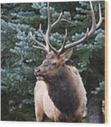 Bull Elk By Blue Spruce Wood Print