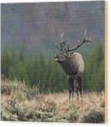 Bull Elk Calling Wood Print by Daniel Behm
