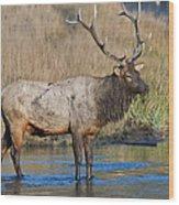 Bull Elk Crossing River Wood Print