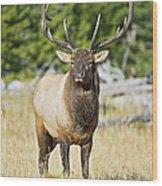 Bull Elk IIII Wood Print