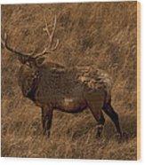 Bull Elk In Evening Light Wood Print