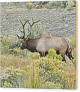 Bull Elk In Rut Wood Print