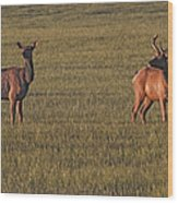 Bull Elk In Velvet With Cow   #5304 Wood Print