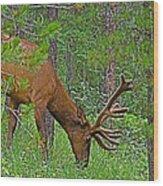 Bull Elk Near Maligne Canyon In Jasper Np-alberta Wood Print