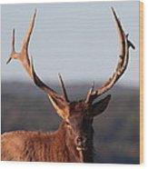 Bull Elk Portrait Wood Print