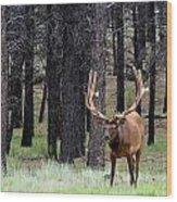 Bull Elk Posing Wood Print