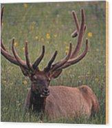 Bull Elk Resting Wood Print