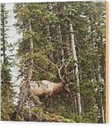 Bull Elk Stands Guard Wood Print