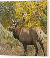 Bull Elk With Autumn Colors Wood Print