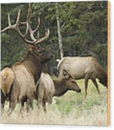 Bull Elk With His Harem Wood Print by Bob Christopher