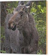 Bull Moose   #5654 Wood Print