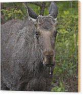 Bull Moose   #5712 Wood Print