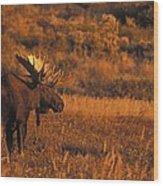 Bull Moose At Sunset Wood Print