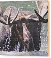 Bull Moose Feeding Wood Print