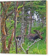 Bull Moose In Cape Breton Highlands Np-ns Wood Print