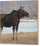 Bull Moose In Late Winter #1 Wood Print