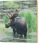 Bull Moose In The Wild Wood Print by Feva  Fotos