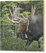 Bull Moose Shedding Velvet Wood Print