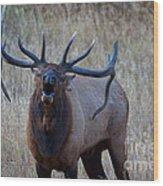Bull Roar Wood Print