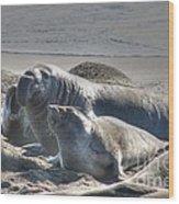 Bull Seal Wood Print