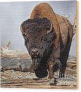 Bull Strut Wood Print