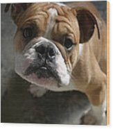 Bulldog Portrait Wood Print