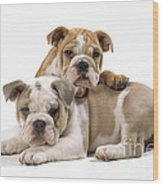 Bulldog Puppies, One On Top Of The Other Wood Print