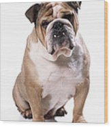 Bulldog Sitting Wood Print