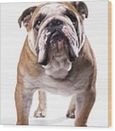 Bulldog Standing, Facing Camera Wood Print