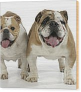 Bulldogs, Male And Female Wood Print