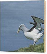 Bullers Albatross Spreading Wings Wood Print