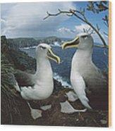 Bullers Albatrosses On Storm-lashed Wood Print