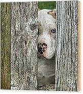 Bull's Eye - English Bulldog Wood Print